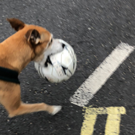 A dog carrying a stolen football in her mouth