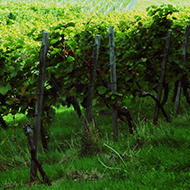 We see rows of vines at Denbies vineyard Dorking set against the backdrop of rolling fields and Box Hill