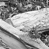 fallen logs in black and white